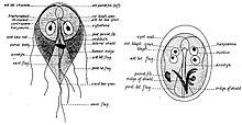 papilloma és uvula ales drog helminthiasis