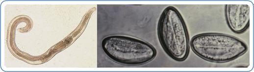 Pinworms az őröknél. Pinworm parazita kezelés, Bélférgesség tünetei és kezelése