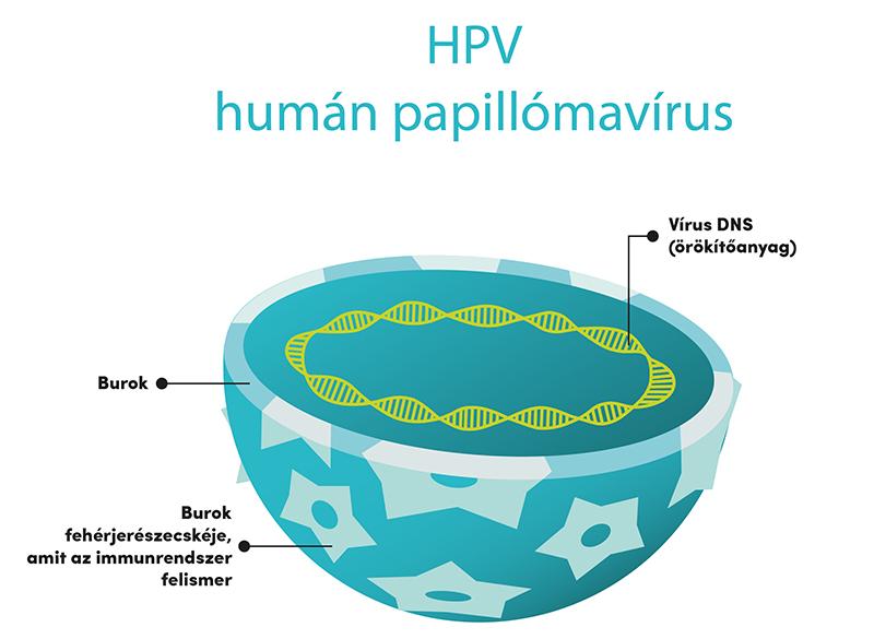 a hpv vírus az átvitel során calimyrna paraziták ábra