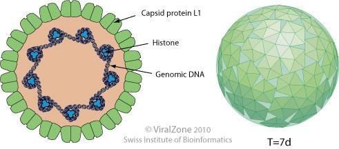 a papilloma vírus felidézi
