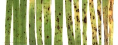 helminthosporium sativum helmostop komplex parazitaellenes vélemények