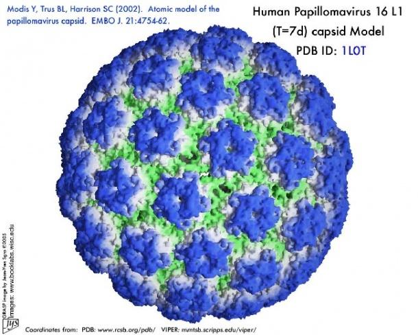 genitális hpv cdc az emberi bőr parazitáinak tünetei