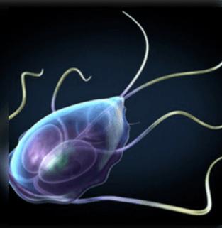 calimyrna paraziták ábra