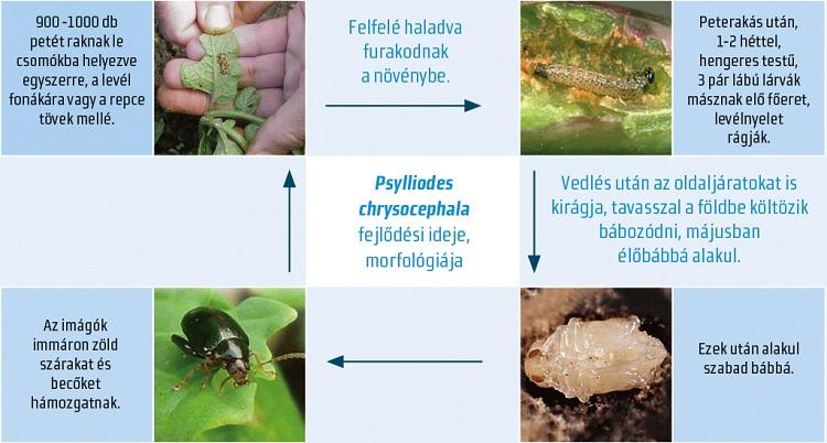 paraziták következtetésként acanthocephalus gélek