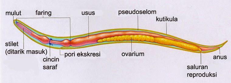 rák, amely és hogyan fordul elő a helminták reprezentatív fajai