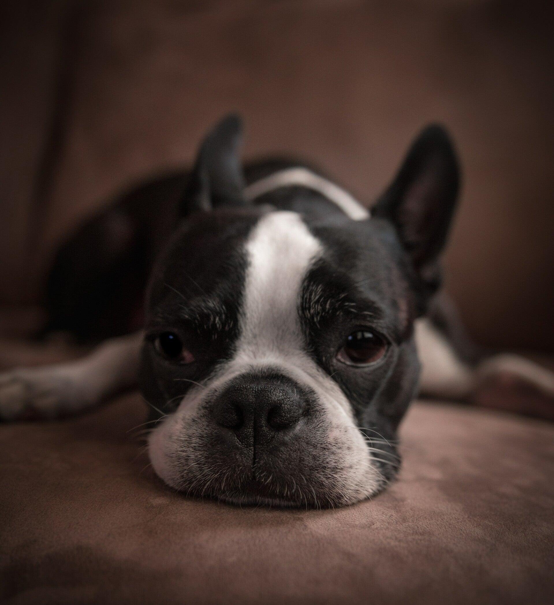 giardia ziekte honden