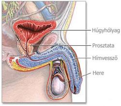 hpv rák hímek Az amőba paraziták az emberi gyomorban