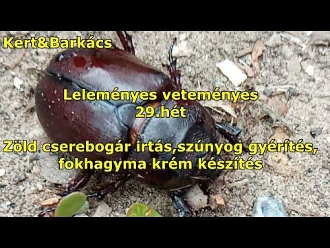 paraziták, mert eltávolítják a testből mennyi idő alatt elmúlik a pinworm