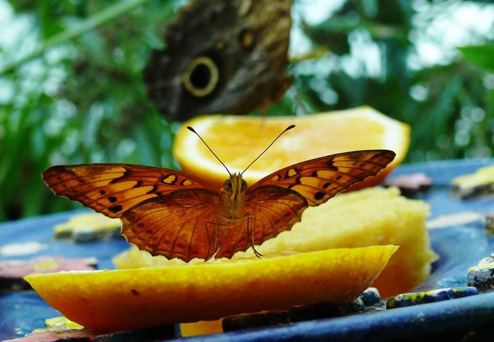 mit éreznek az intraductalis papillómák