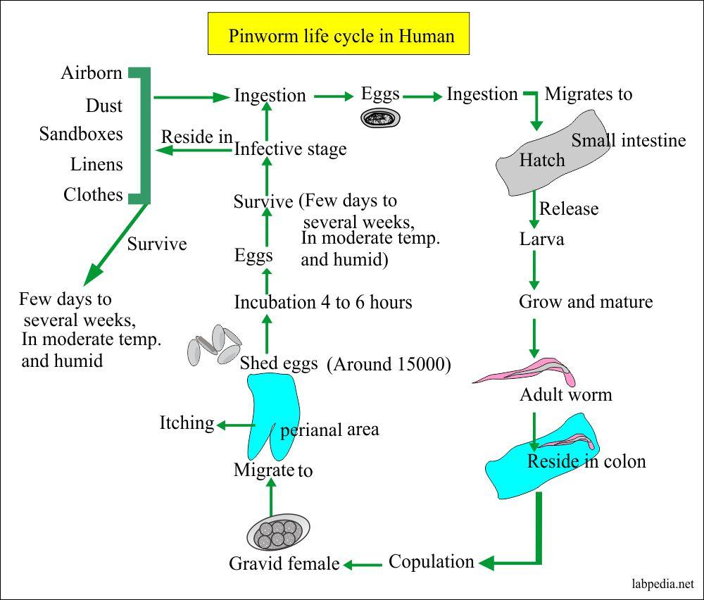pinworm idegrendszer