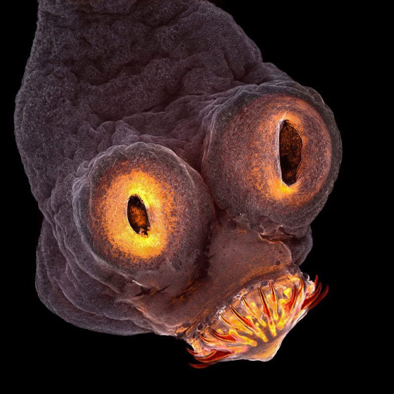 galandféreg hal