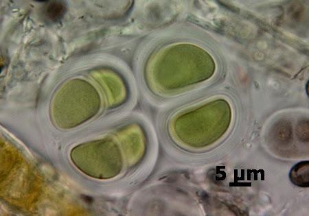 a kovaföld gyomeparazitái
