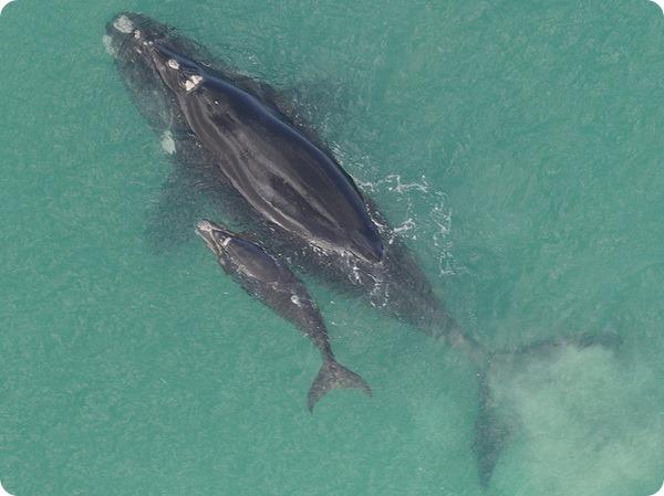 szemölcsök a bálnák bőrén