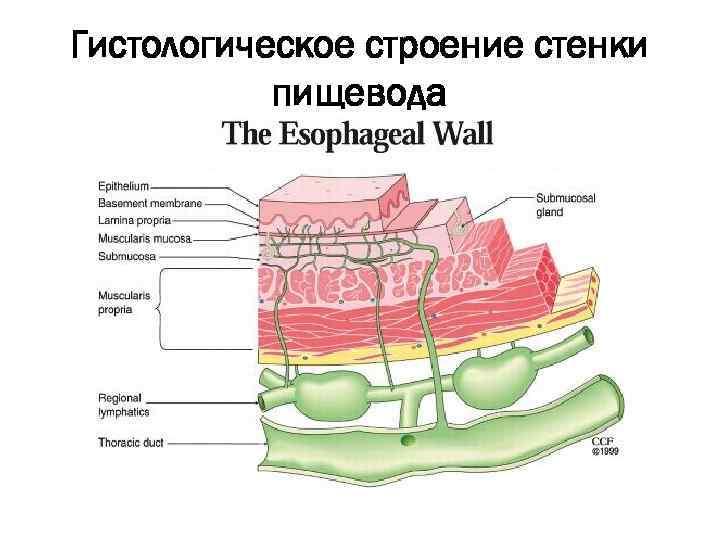 meghatározza a nyelőcső papillómáját helmint kezelés szoptatás alatt